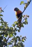 Uccello indigeno australiano, pappagallo del lorikeet dell'arcobaleno Fotografia Stock