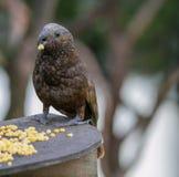 Uccello indigeno della Nuova Zelanda Kaka che mangia cereale Fotografia Stock Libera da Diritti