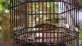 Uccello ingabbiato che si agita intorno nella gabbia di legno da vendere sulla via stock footage