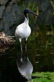 Uccello - iride Fotografia Stock