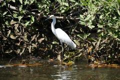 Uccello, Isla Juan Venado, Nicaragua Fotografia Stock