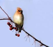 Uccello isolato del waxwing di cedro Fotografia Stock