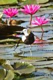 Uccello (Jacana Fagiano-munito), Tailandia Immagini Stock