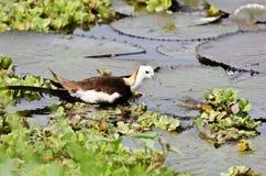 Uccello (Jacana Fagiano-munito), Tailandia Fotografia Stock Libera da Diritti