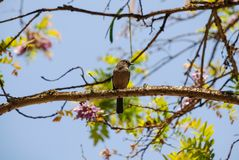 Uccello Kenya Africa di chiacchierata di Moorland immagini stock