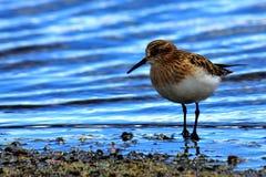 Uccello in laguna Immagini Stock