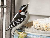 Uccello lanuginoso del picchio Fotografia Stock Libera da Diritti