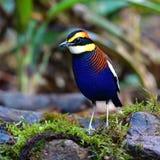 Uccello legato malese di Pitta fotografie stock libere da diritti