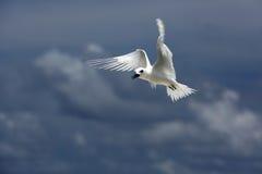 Uccello leggiadramente della sterna di volo Immagine Stock