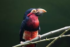 Uccello Libia barbuto fotografia stock