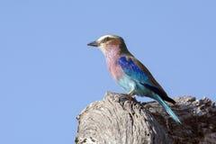 Uccello lilla del rullo di Breasted Fotografie Stock