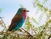 Uccello lilla del rullo di Breasted nel Kenia, Africa fotografia stock libera da diritti