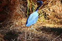 Uccello lungo del blu del collo Immagini Stock
