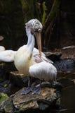 uccello Macchiare-fatturato di Pelecan immagine stock libera da diritti