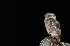 Uccello macchiato del owlet Fotografie Stock Libere da Diritti
