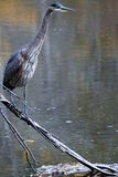 Uccello maestoso Fotografie Stock Libere da Diritti