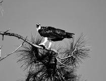 Uccello maestoso del falco pescatore nei precedenti selvaggi Immagini Stock Libere da Diritti