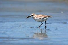 Uccello malese del piviere Fotografie Stock