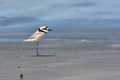 Uccello malese del piviere Immagini Stock Libere da Diritti