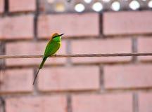 Uccello mangiatore di ape o di orientalis indiani del Merops Immagine Stock