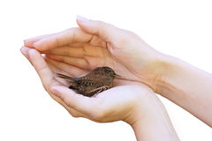 Uccello in mani Fotografia Stock Libera da Diritti
