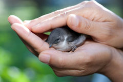 Uccello in mani preoccupantesi. Fotografia Stock Libera da Diritti