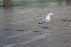 Uccello marino d'argento aggressivo del gabbiano che sta gridante sulla pavimentazione dentro immagini stock