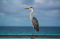 Uccello marino dei Maldives Fotografia Stock Libera da Diritti