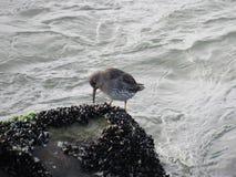 Uccello marino sulle rocce nel New Jersey del sud Immagine Stock