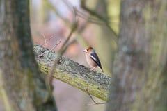 Uccello marrone del Hawfinch che si appollaia su un ramo spesso fra gli alberi nella foresta immagine stock libera da diritti