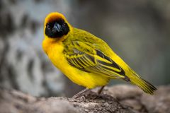 Uccello mascherato del tessitore che affronta macchina fotografica sul ceppo Fotografia Stock Libera da Diritti