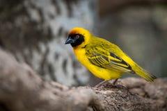 Uccello mascherato del tessitore nel profilo sul ceppo Immagine Stock