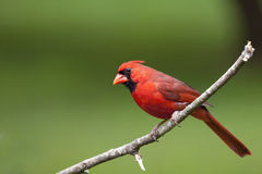 Uccello maschio cardinale del Norther immagini stock libere da diritti