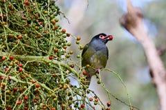Uccello maschio del fico Immagini Stock Libere da Diritti