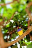Uccello maschio del fringillide di Gouldian Fotografie Stock
