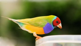Uccello maschio del fringillide di signora Gouldian Fotografia Stock
