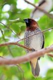 Uccello maschio del passerine Immagini Stock