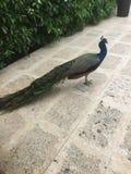 Uccello maschio del pavone in Giamaica Fotografia Stock Libera da Diritti