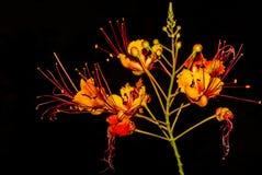 Uccello messicano sbalorditivo del fiore di paradiso contro fondo nero Fotografia Stock