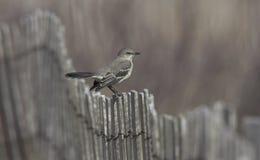 Uccello - Mockingbird Fotografie Stock