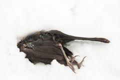Uccello morto che si trova nella neve Fotografia Stock Libera da Diritti