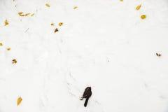 Uccello morto che si trova nella neve Immagini Stock Libere da Diritti