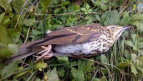 Uccello morto sulla terra Fotografia Stock