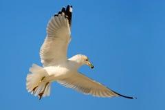 Uccello in mosca con cielo blu gabbiano Anello-fatturato, delawarensis di larus, da Florida, U.S.A. Gabbiano bianco in volo con l Immagine Stock Libera da Diritti
