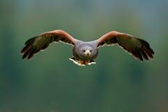 uccello in mosca Harris Hawk, unicinctus di Parabuteo, atterrante Scena animale della fauna selvatica dalla natura Uccello, flygh fotografia stock libera da diritti