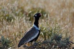 Uccello namibiano conosciuto per dare l'allarme, Korhaan nero nordico maschio immagine stock