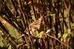 Uccello nascosto Immagini Stock Libere da Diritti