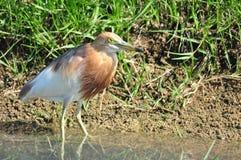 Uccello in natura (airone cinese dello stagno) Immagine Stock Libera da Diritti