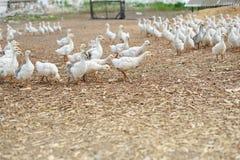 Uccello nazionale Azienda agricola dell'oca Fotografia Stock Libera da Diritti