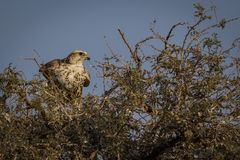 Uccello nazionale del primo piano del falco di Saker del bikaner di visita di mangolia, Ragiastan India fotografie stock